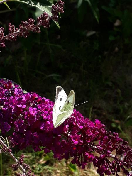 Stor kålsommerfugl i vild have