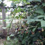 Brombærbusk