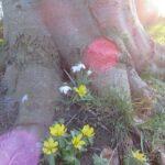Bøgetræ, erantis og vintergækker