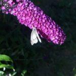 Stor kålsommerfugl