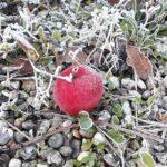 Rimfrost på æble