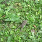 Skrubtudse i vild have