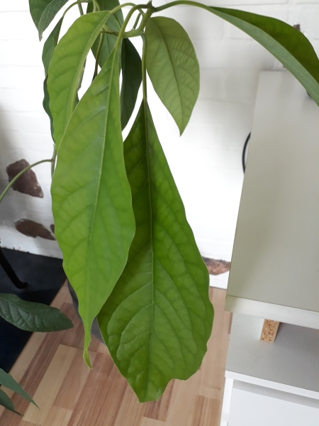 Avocadoplante