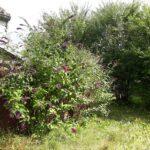Sommerfuglebusk i haven
