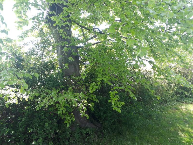 Bøgetræ i haven