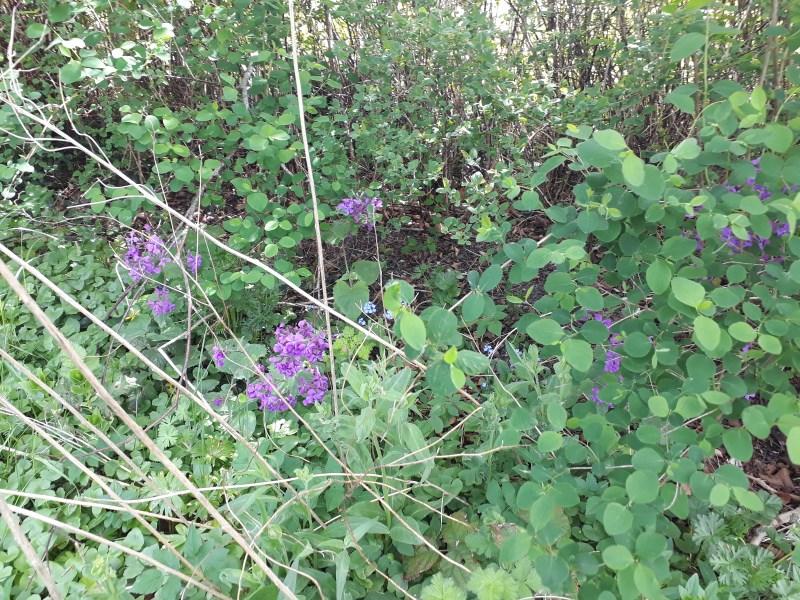 Flerårige blomster til haven