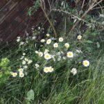 Hvid okseøje i haven