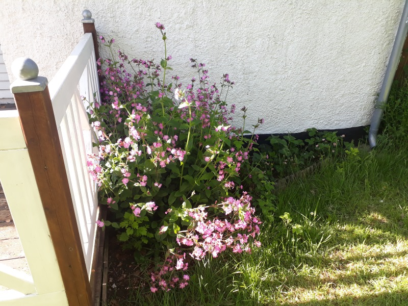 Storkenæb i haven