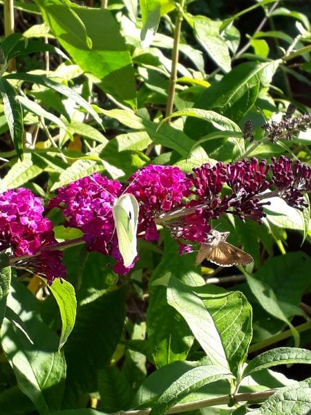 Sommerfuglebusk og insekter