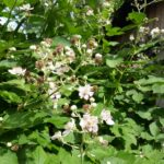 Svirrefluer i haven