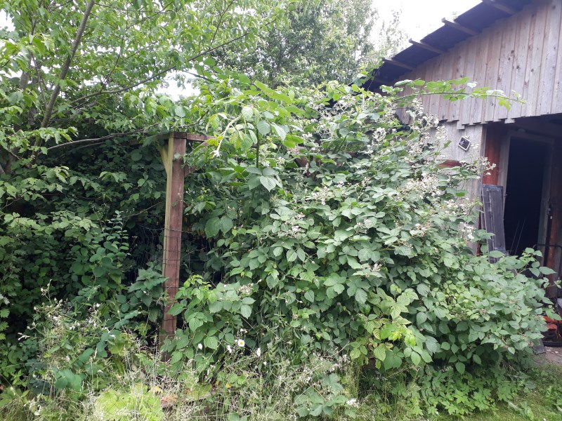 Hindbærbusk i naturlig have