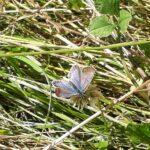 Almindelig blåfugl i haven