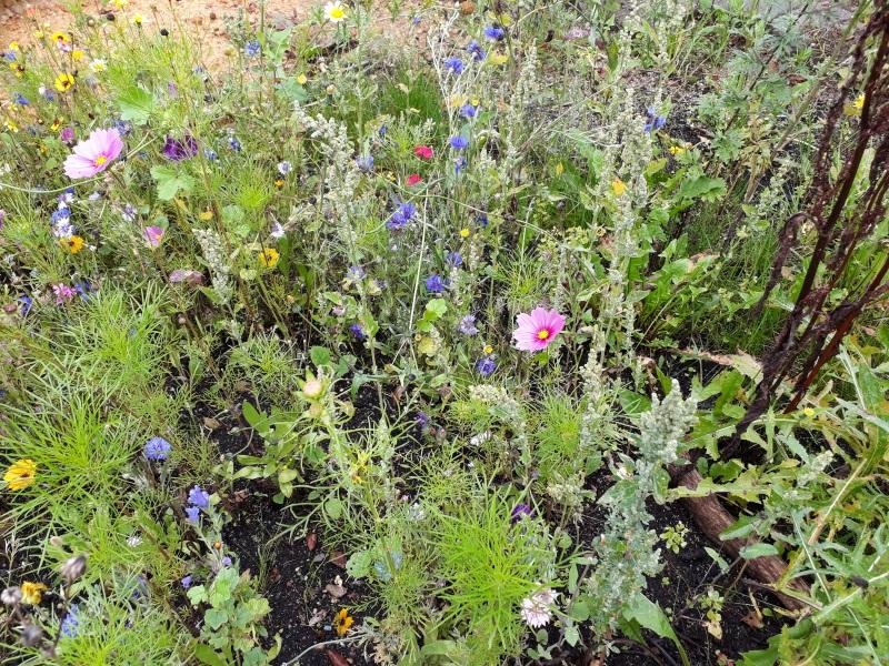 Køb vilde blomsterfrø til haven