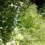 Vilde blomster i haven