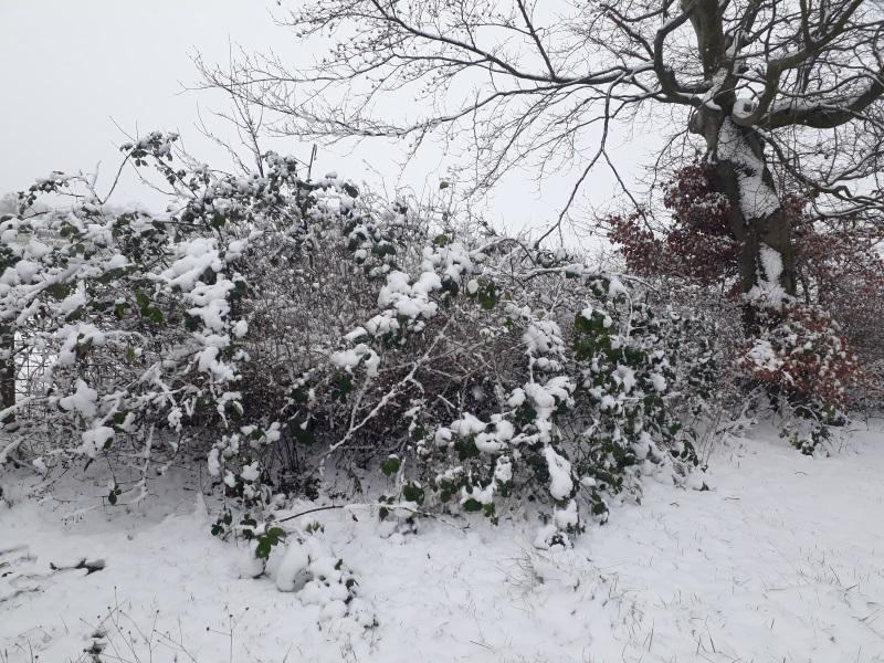 Sne i den vilde have