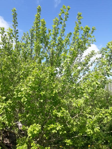 Hurtigt voksende piletræ i haven
