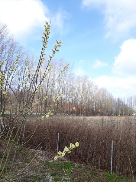 Piletræ i vild have