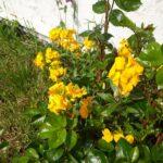 vilde gule blomster i haven