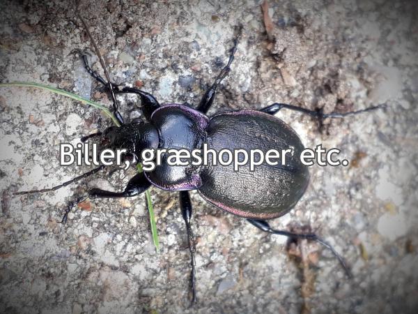 Alt om biller og græshopper i haven