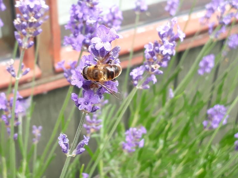 Bier og lavendler