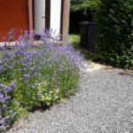 Lavendel i haven