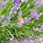 Lavendel og insekter i haven