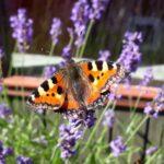 Sommerfugle på lavendler i haven