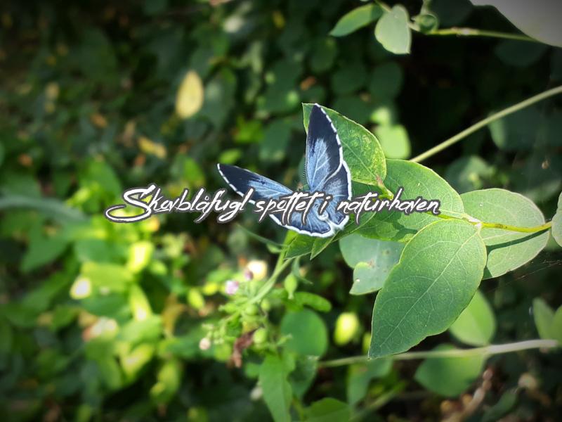 Skovblåfugl i naturhave