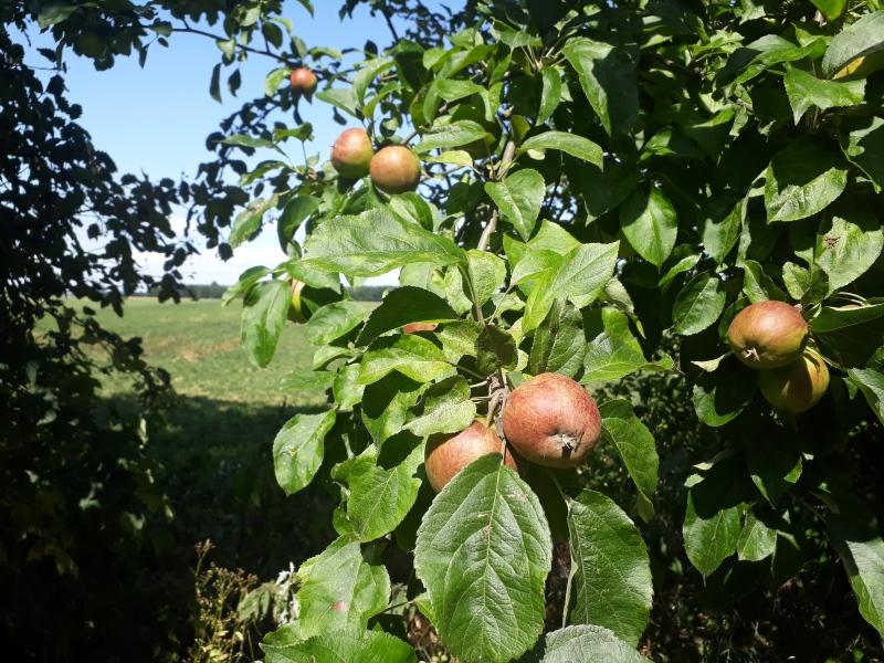 Æbler til havens fugle