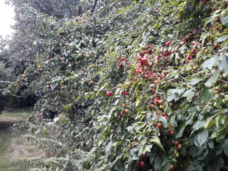 Blommer og æbler i haven