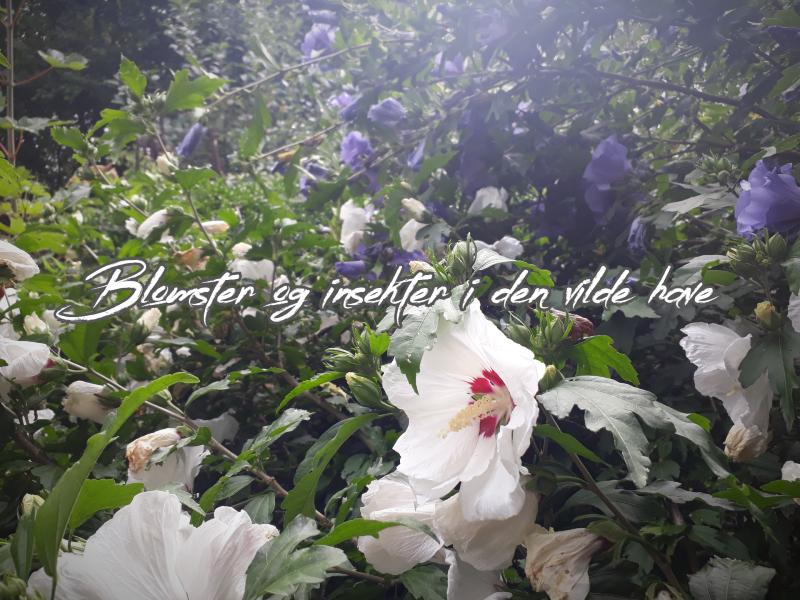 Blomster og insekter i haven