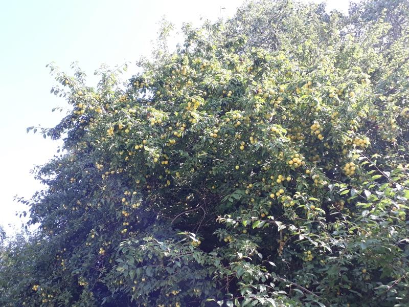 Gule blommer i haven