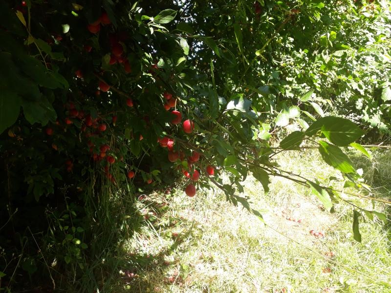 Røde blommer fra haven