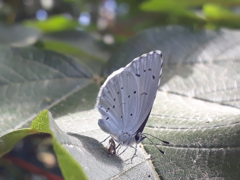 Skovblåfugl i haven