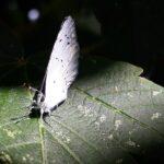 Nærbillede af skovblåfugl