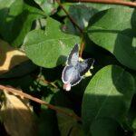 Sommerfugl skovblåfugl