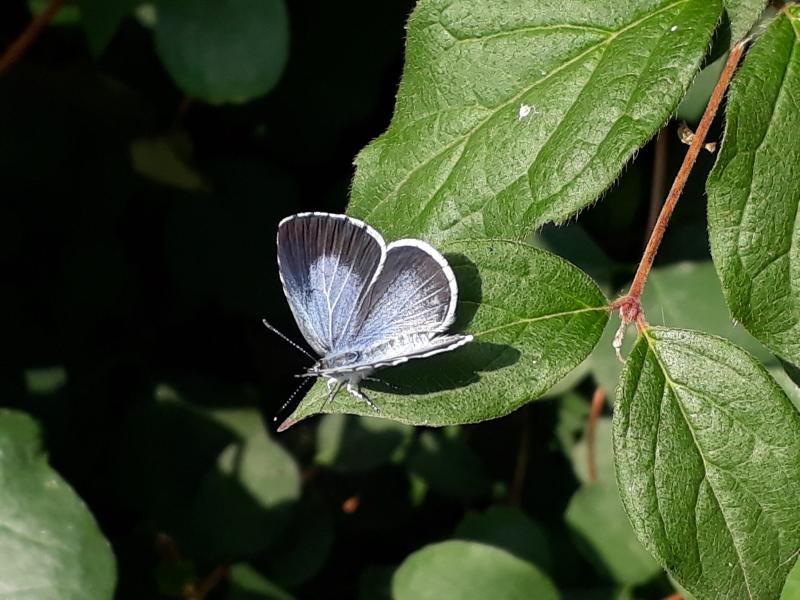 Tiltræk skovblåfugl til haven
