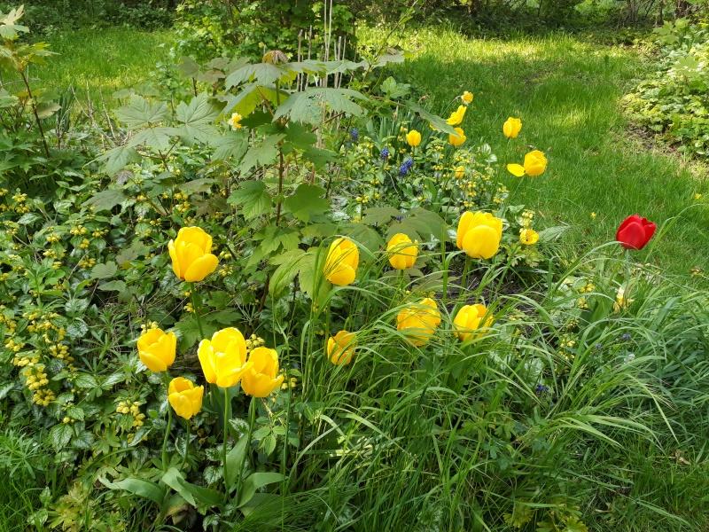Tulipan i vild have